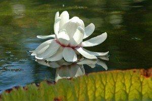 Victoria fleur-nenuphar-victoria-regia-1122294-300x200