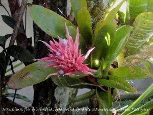 @ivanlima-2016.02.23-petropolis-casa-da-beth-braganca-flor-de-bromelia-assinada-web-36cm.jpg