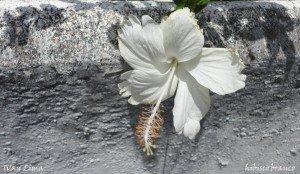 @ivanlima-petrropolis-flor-na-rua-da-beth-braganca-hibisco-branco-web-marco-2016.jpg