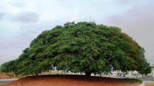 L'arbre Copaiba sur l'Avenue Getulio Vargas, patrimoine de la ville de bauru, Brésil