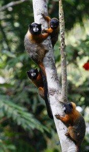 singes plus que feuilles