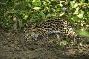 animais-em-extincao-na-floresta-amazonica