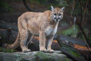 animais-em-extincao-na-floresta-amazonica11
