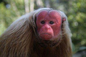 animais-em-extincao-na-floresta-amazonica12