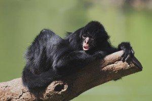 animais-em-extincao-na-floresta-amazonica13