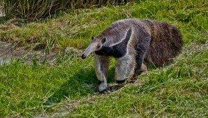 animais-em-extincao-na-floresta-amazonica16