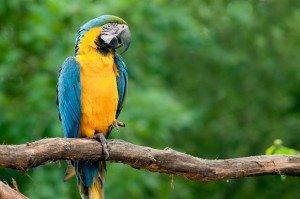 animais-em-extincao-na-floresta-amazonica5