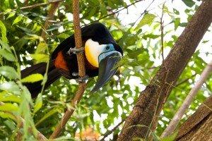 animais-em-extincao-na-floresta-amazonica6