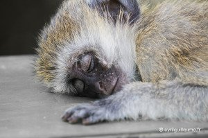 Singe qui dort - Photo de Cyril Guillaume